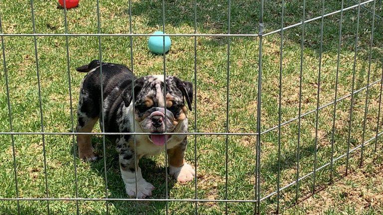 BUlldog Trufa Black Merle2