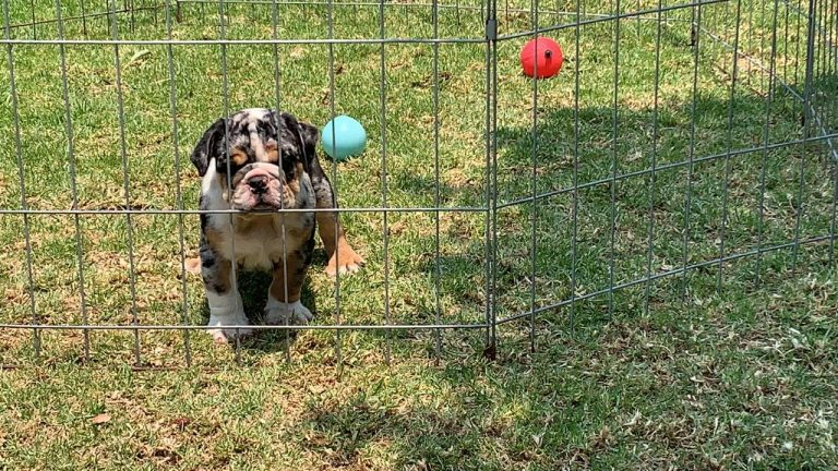 BUlldog Trufa Black Merle3
