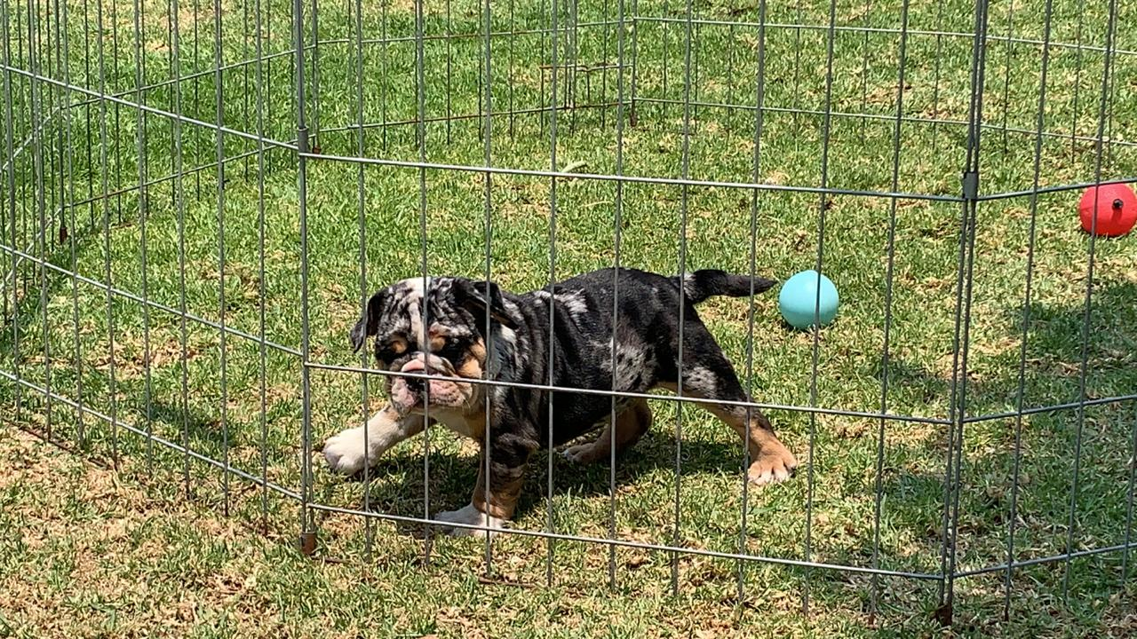 BUlldog Trufa Black Merle4